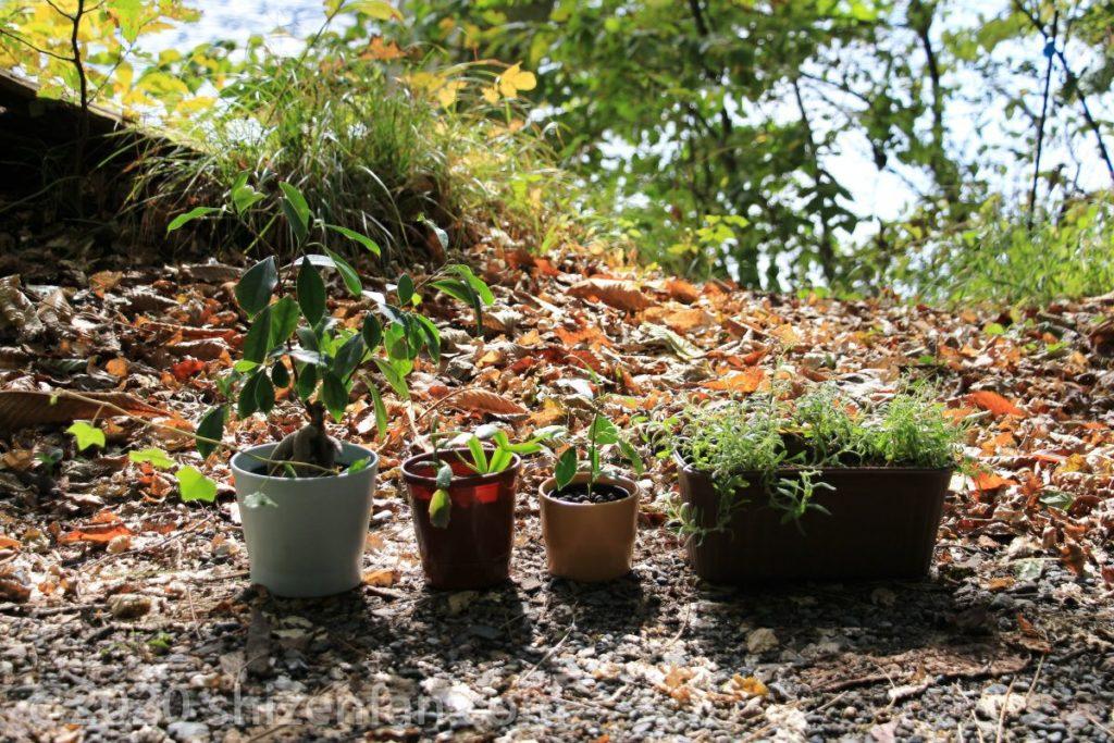 秋の落ち葉の上に置かれた観葉植物の鉢