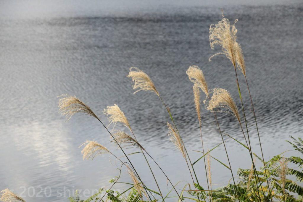 湖面を背景に風に揺れるススキ