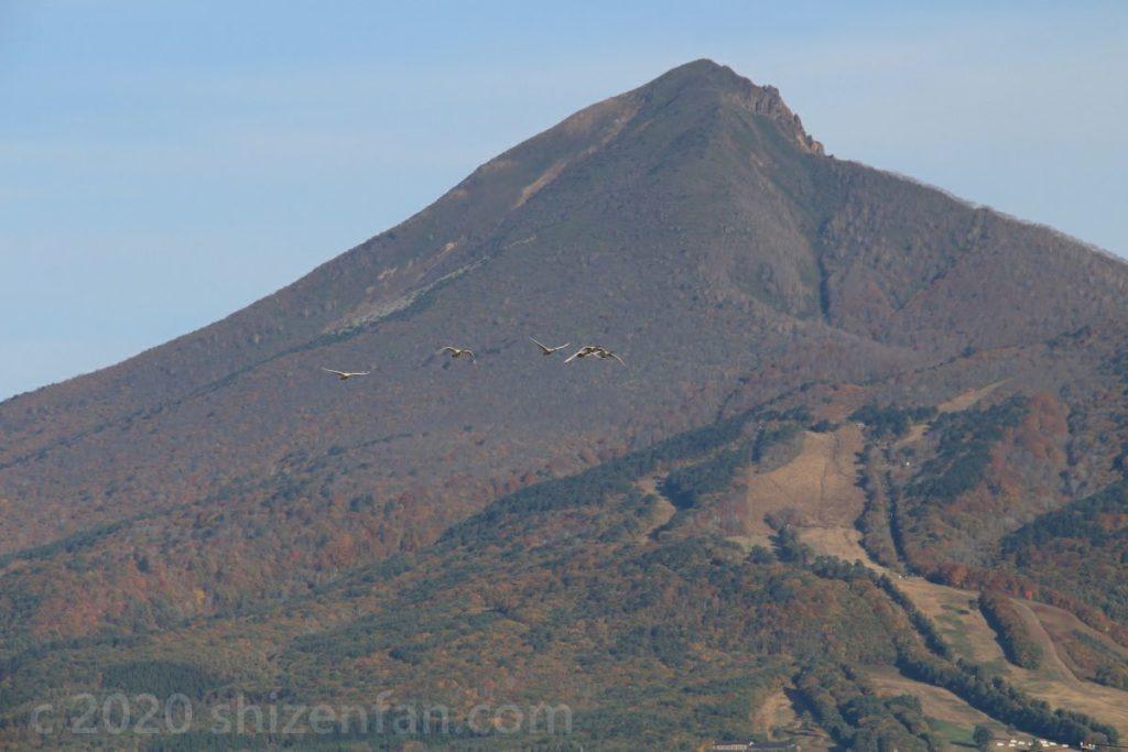 磐梯山をバックに飛んで来るハクチョウの群れ
