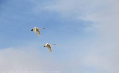 青空を飛ぶ2羽の白鳥