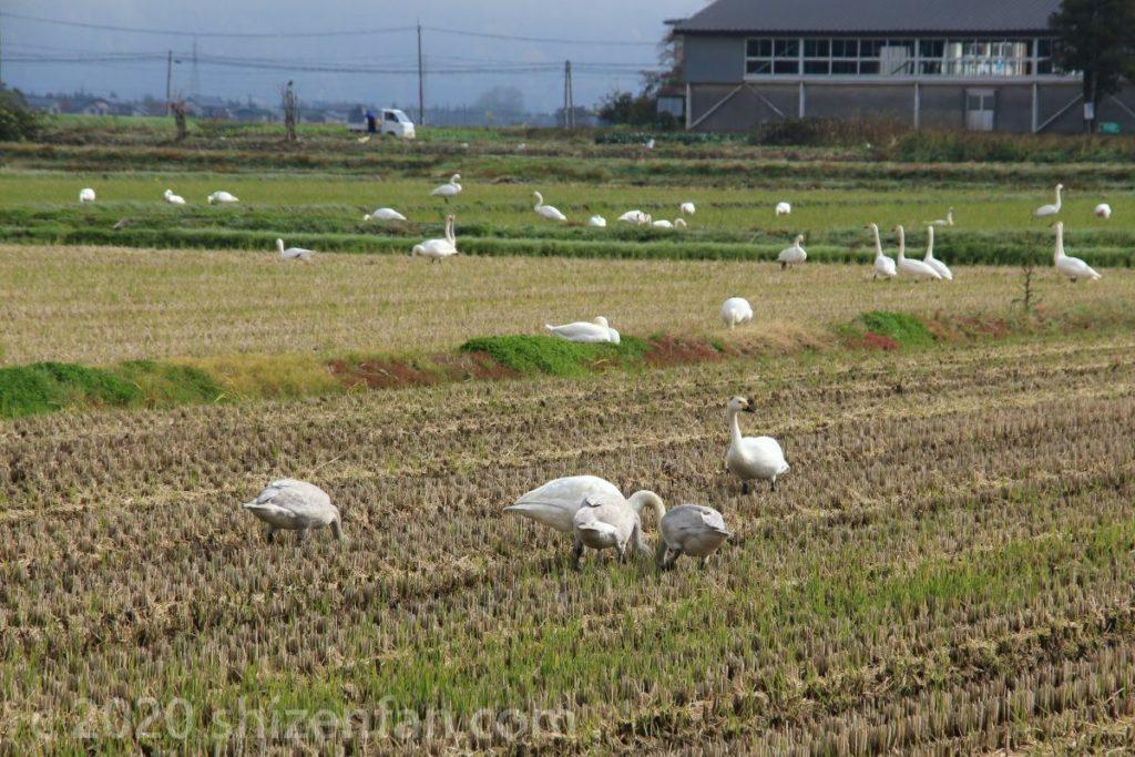田畑で落ち穂をつつく白鳥たち(猪苗代湖畔・10月下旬)