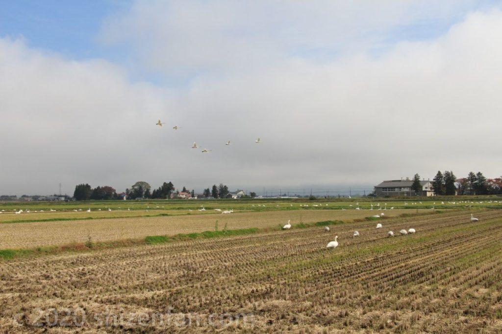 畑に集まる白鳥たち(猪苗代湖畔・10月下旬)