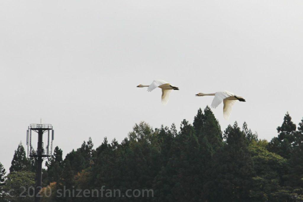 低空を飛ぶ2羽のハクチョウ