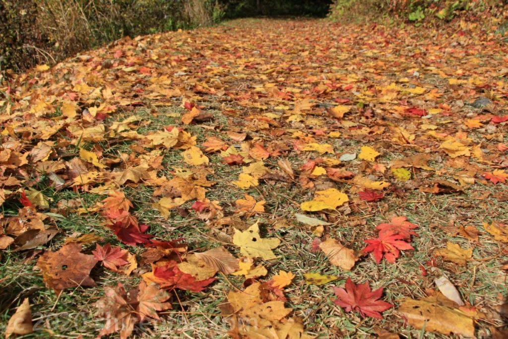 黄や赤の落ち葉が敷き詰められた遊歩道