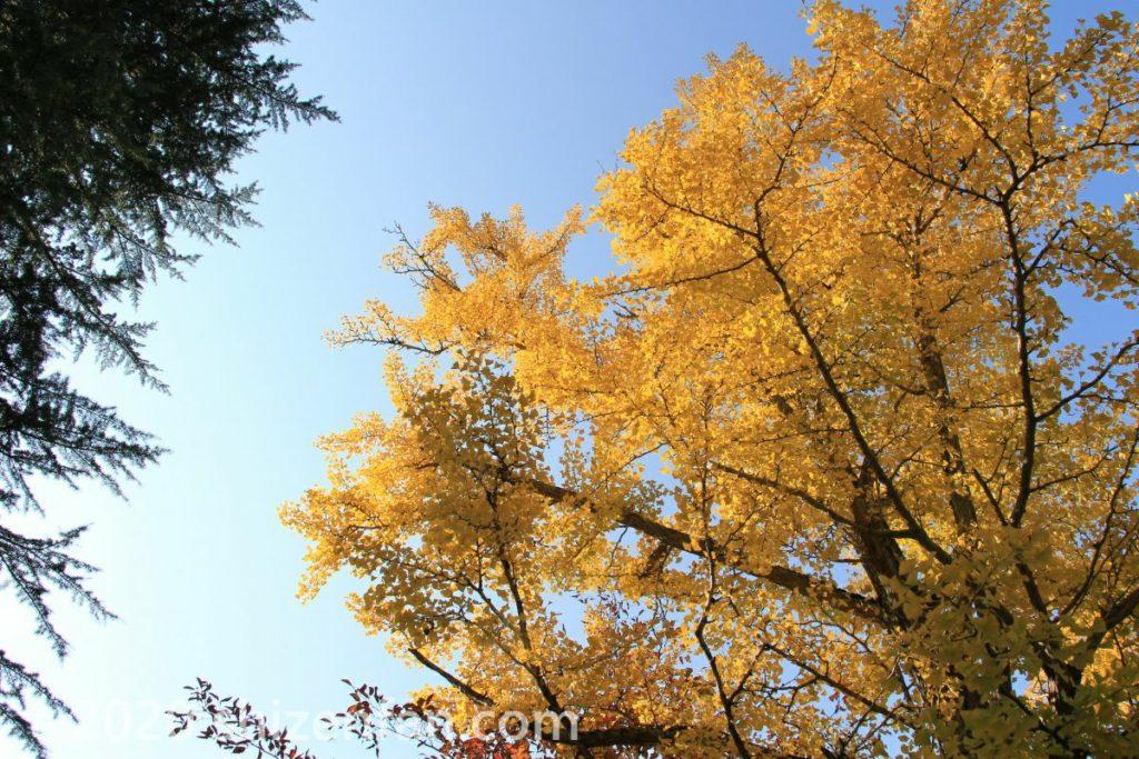 青空と黄葉するイチョウ