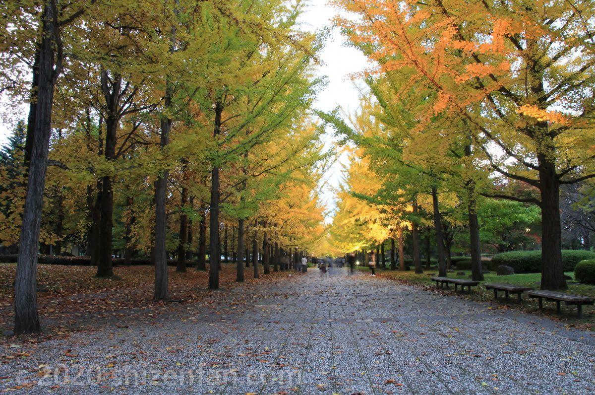 天童市・山形県運動公園のイチョウ並木