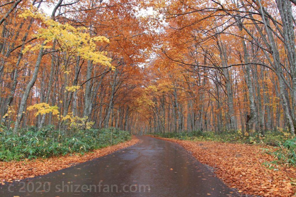 紅葉最盛期の乳頭温泉郷のブナ林