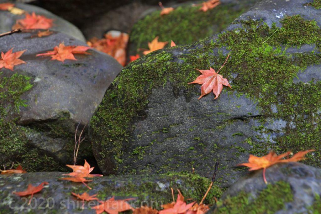苔むした岩に散ったモミジの葉