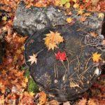 丸太に乗った赤と黄色のモミジの葉