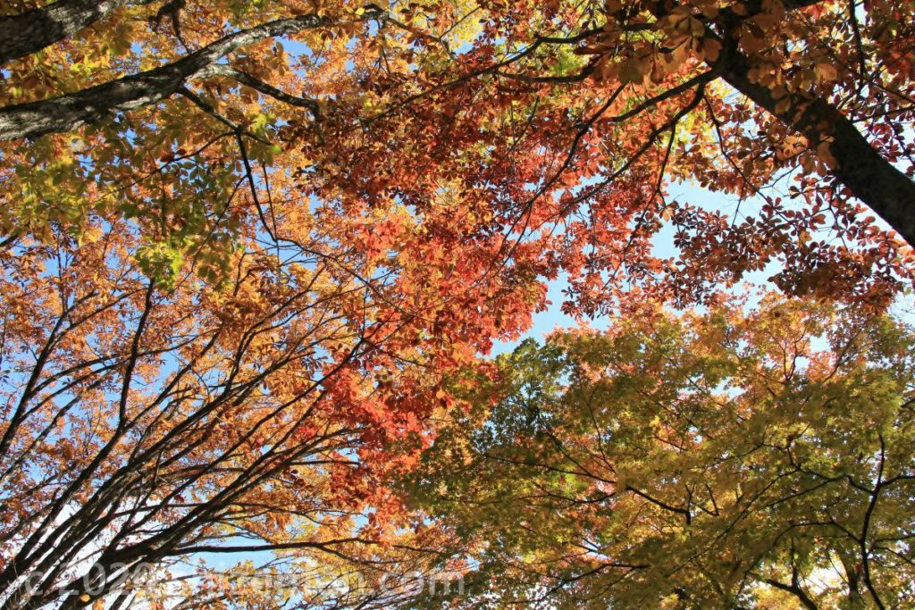 紅葉した木々の枝が重なり合う様子