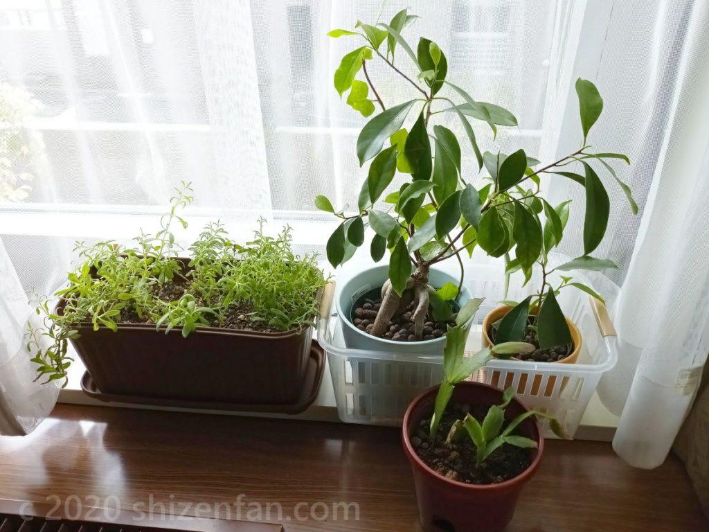 窓際に置かれた4鉢な観葉植物