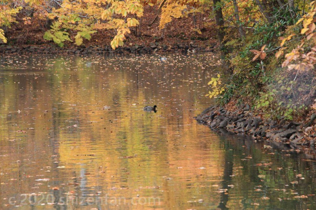 紅葉の映り込む池と一羽のカモ(大沼国定公園)