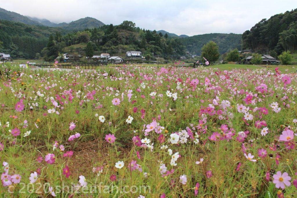 臼杵石仏広場のコスモス畑